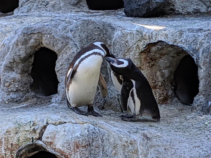 Una pareja de pingüinos gays, padres ''ejemplares'' en el zoo de San Francisco