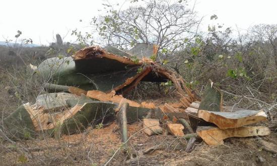[VÍDEO] Tala de árboles en Cerro de Hojas-Jaboncillo desata críticas