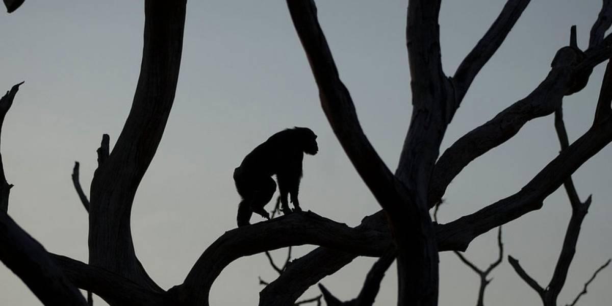 Hallan restos de un pequeño mono que vivió en Kenia hace 4,2 millones de años