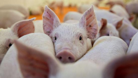 Gobernador colombiano denuncia que bandas alimentan cerdos con restos humanos