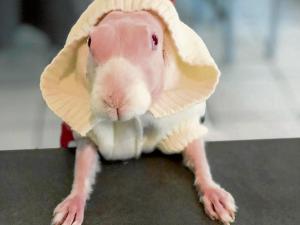 Conejo sin pelaje es toda  una celebridad en Instagram