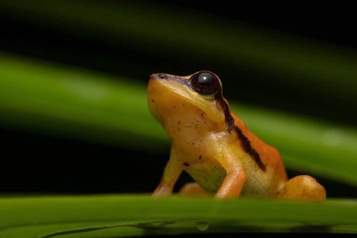 Descubiertos dos nuevos tipos de ranas en la región andina del sur de Ecuador