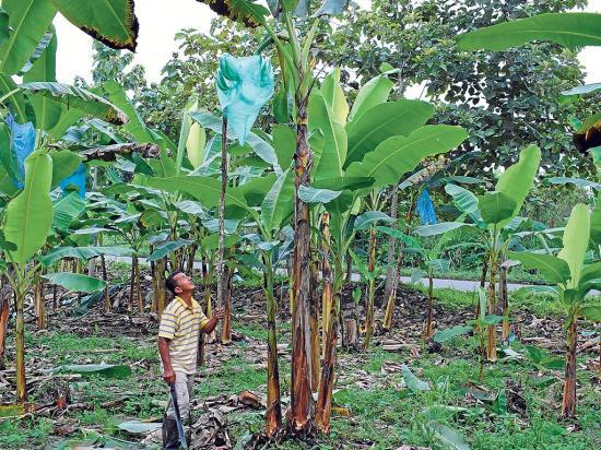 Agricultores manabitas afectados por cambios climáticos