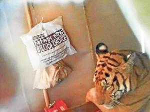 Un tigre irrumpe en una casa y se relaja en una cama