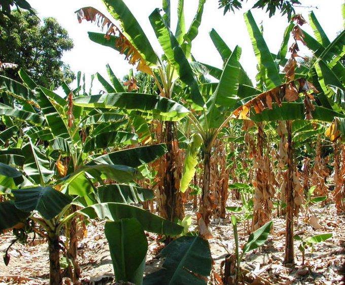Expertos regionales analizan en Ecuador protocolos contra la plaga del banano