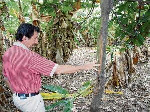 """Plantaciones son afectadas por un """"animal"""" en Manabí"""