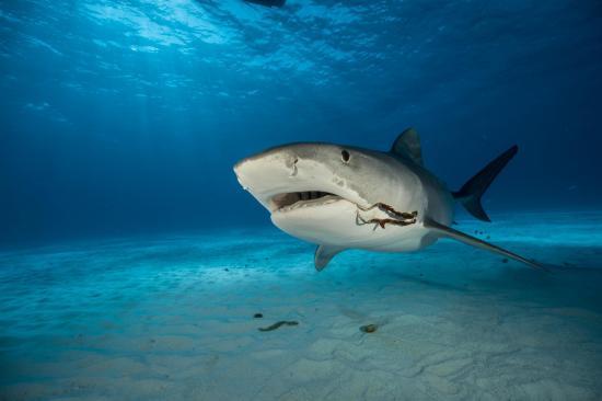 Nuevo ataque de tiburón en una playa de Florida, el tercero en 72 horas