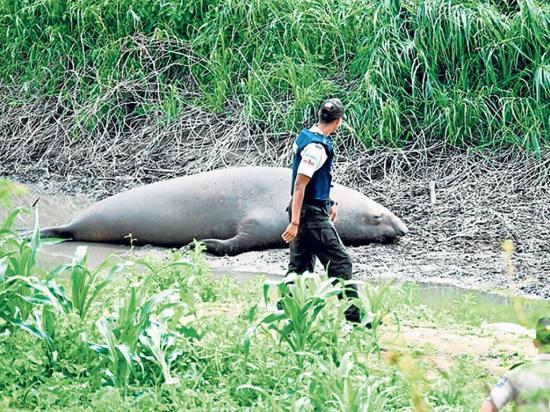 Envían a su hábitat a elefante marino perdido