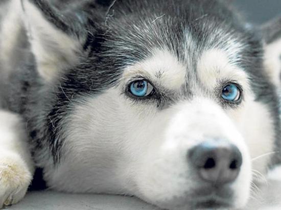 Antrenador asfixia a  un perro de raza husky