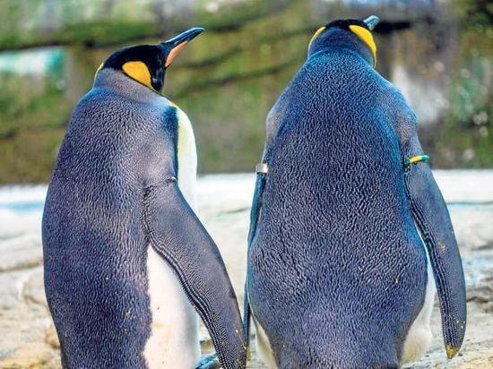 Pareja gay de pingüinos adopta huevo