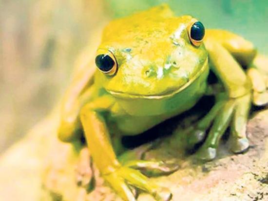 Encuentra una rana en su ensalada envasada