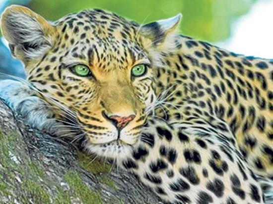 Pareja capta una nueva especie de leopardo