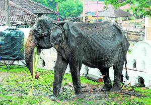 Elefante  desmejorada crea conciencia sobre abusos