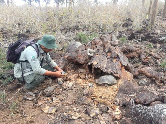 Ecuador logra reinsertar con éxito tortugas endémicas en isla de Galápagos