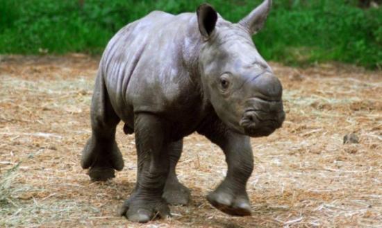 Nace la primera cría de rinoceronte blanco lograda en Cuba en más de 15 años
