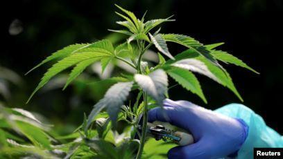 El cannabis podrá emplearse para uso medicinal en Ecuador