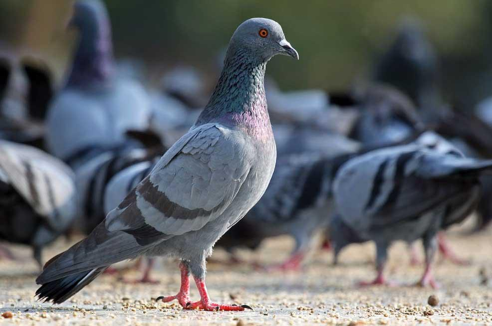 Bruselas suministrará anticonceptivos a las palomas para reducir su población