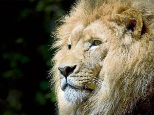 Pasa un minuto al lado de un león como si nada