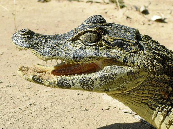 Encuentran cocodrilo en un baño
