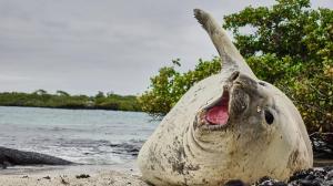Un elefante marino es visto en las Islas Galápagos