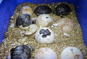 Una veintena de tortugas abandonan la incubadora en proyecto en las Galápagos
