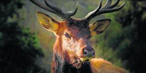 Avistan  un ciervo  con 3 cuernos