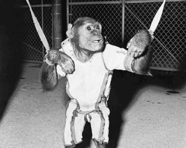 Se cumplen 58 años del viaje de Enos, primer chimponauta orbital