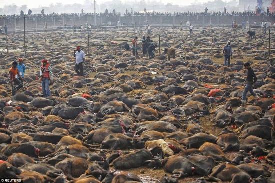 Nepal sacrifica 6.000 búfalos en mayor matanza ritual de animales del mundo