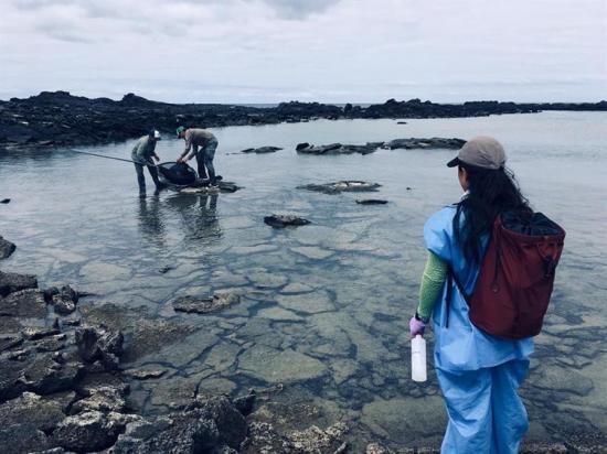 En Galápagos liberan a dos lobos marinos de basura atada a sus cuerpos