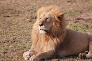 Un león mata a una persona en los alrededores de Parque Nacional de Nairobi