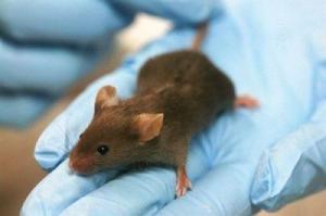 Investigadores de Ecuador y Argentina descubren una nueva especie de rata