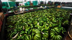 Moscú urge a Quito erradicar un parásito de los plátanos que exporta
