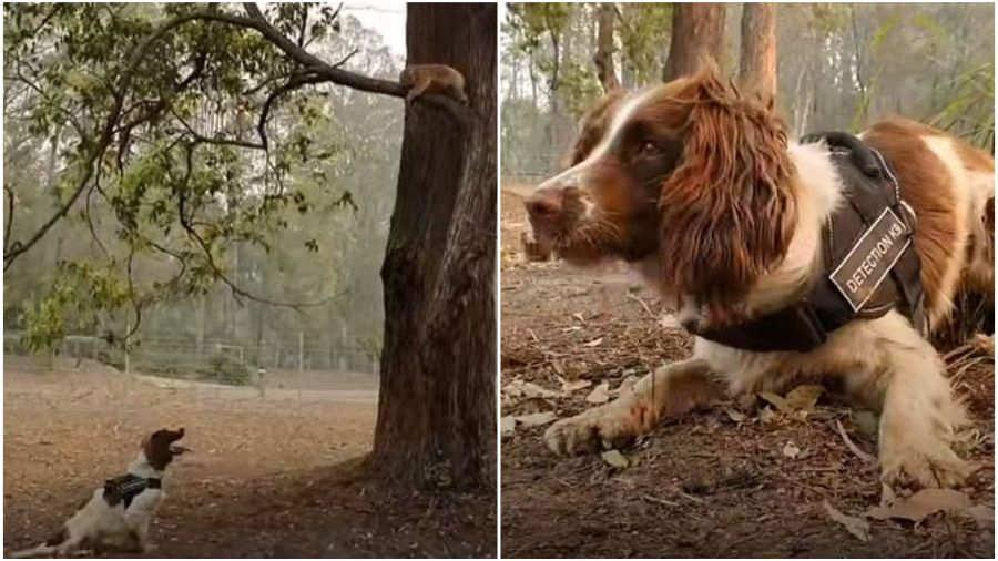 Una perra ayuda a rescatar koalas entre los enormes incendios de Australia