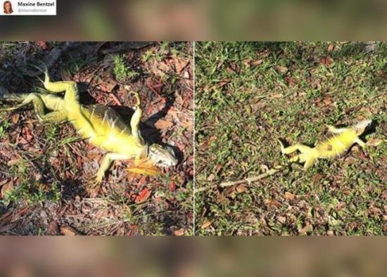 EEUU alerta que las iguanas se caerán de los árboles por el frío en Miami