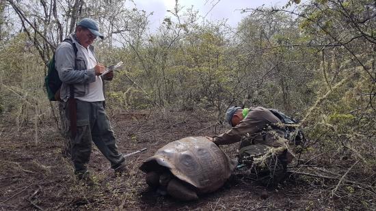 Encuentran en Galápagos a una tortuga hembra pariente del 'Solitario George'