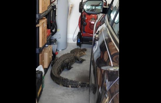Un hombre encuentra un caimán de más de 2 metros en su garaje, en Florida