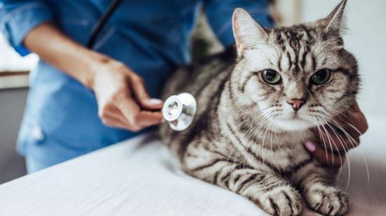 Dos gatos son las primeras mascotas que dan positivo de COVID-19 en EE.UU.