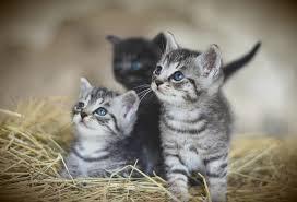 Los gatos son una especie más susceptible al coronavirus, afirma la OMS