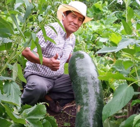 CHONE: Producen pepinos de más de un metro de longitud