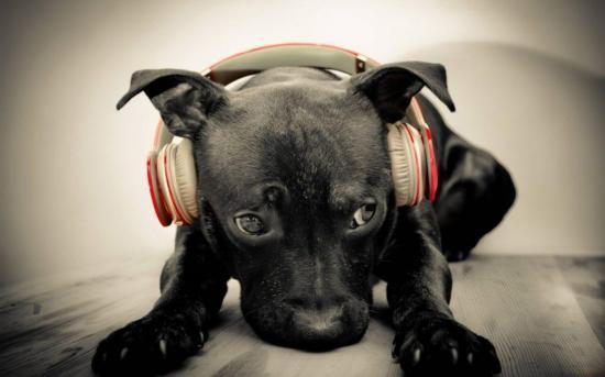 Un estudio revela que algunos animales identifican el ritmo de las canciones