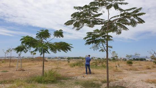 Árboles sembrados hace 18 meses en La Poza de Manta superan los 3 metros de altura