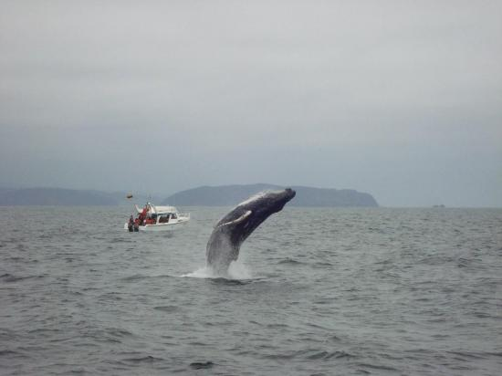 Sí habrá festival de observación de ballenas jorobadas en Puerto López