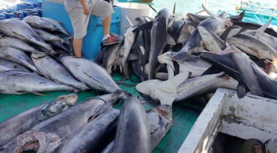 Ecuador prohíbe comercio de 5 especies de tiburón en combate a la pesca ilegal