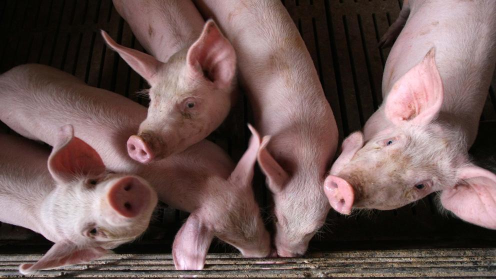 Científicos chinos alertan de una nueva cepa de gripe porcina que podría transmitirse a humanos