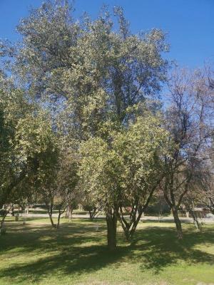 Un árbol endémico de Chile podría ayudar a crear vacuna contra la COVID-19