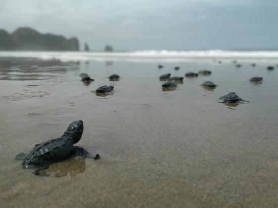 Más de cuatro mil tortugas marinas nacieron en playas de Manta