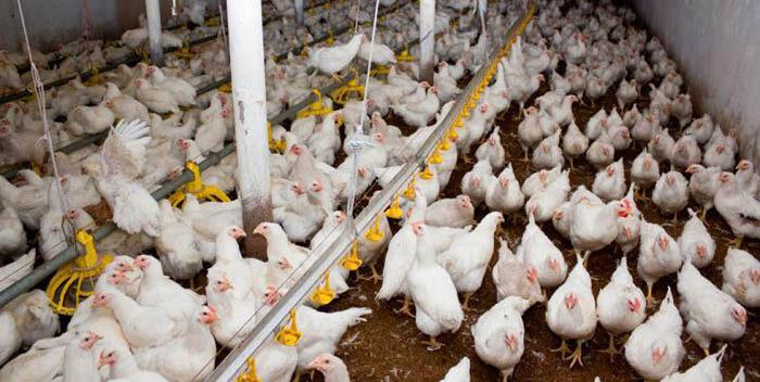Detectado en Croacia un foco de gripe aviar H5N8
