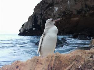 Avistan en Galápagos un pingüino con leucismo