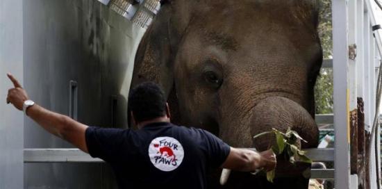 Un elefante protegido por la cantante Cher viaja de Pakistán a Camboya