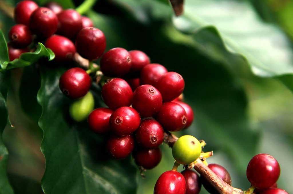 Buscan más apoyo para rescatar cultivos de café